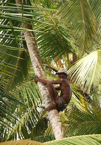 добытчик кокосов